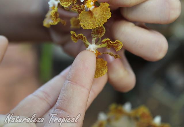 Introducción de las polinias de Trichocentrum undulatum en la región más interna de la columna floral