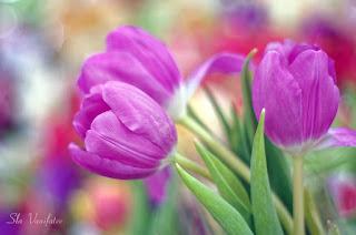 tulipanes-rosas