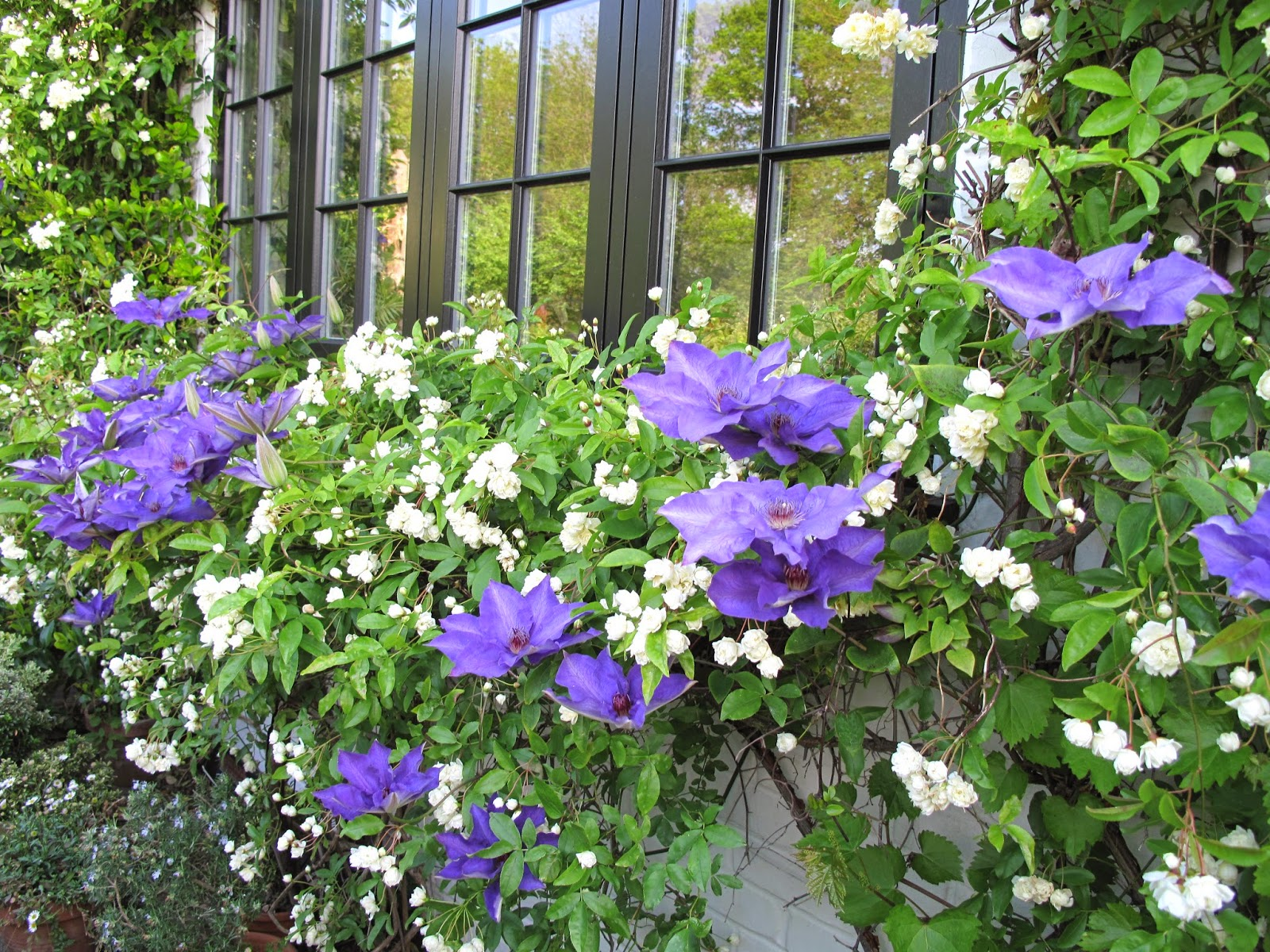 Joanne S Cottage Garden Rose Banksia Banksia With Clematis