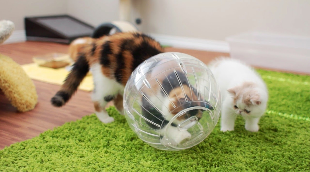kittens rolling in hamster ball sweetfurr