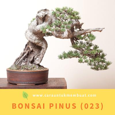 Bonsai Pinus (023)