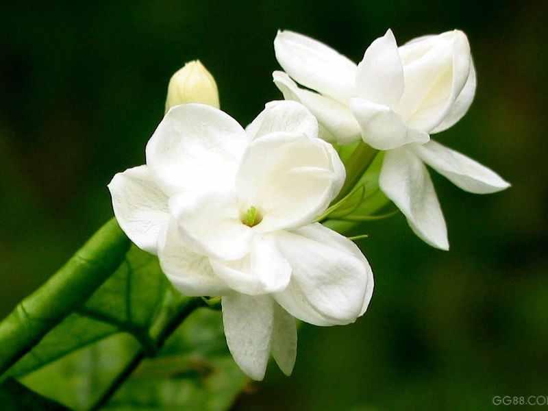 jasmine flowers species jasmine flowers some unique features
