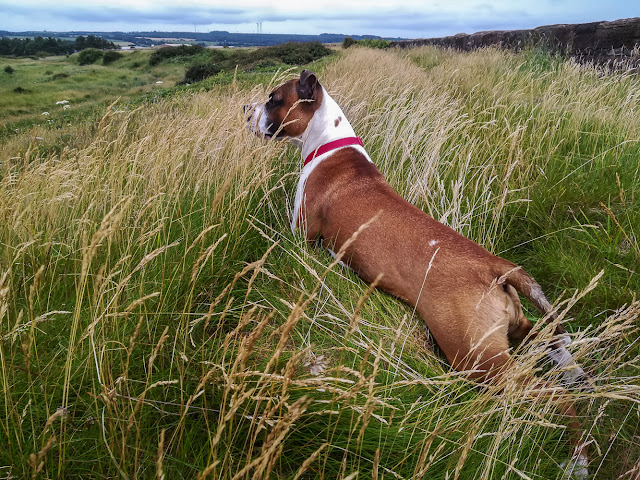 Photo of Ruby playing in the long grass