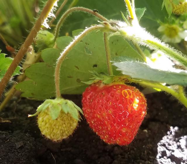 мои 92 дня лета, земляника цветёт по второму разу и уже есть ягоды...