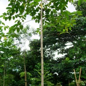 untung besar bisnis investasi kayu jabon