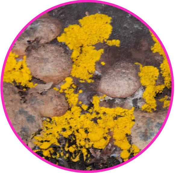 Dalam sistem kiasifikasi 5 kingdom, kingdom protista terdiri atas 12 filum, yaitu:  Mastigophora/Flagellata (protista berbulu cambuk) Sarcodina/Rhizopoda (protista berkaki semu) Ciliophora/Ciliata (protista bersilia)  Sporozoa (protista bespora) Euglenophyta (euglena) Chrysophyta (alga keemasan) Pyrrophyta (alga api) Chlorophyta (alga hijau) Phaeophyta (alga coklát) Rhodophyta (alga merah) Myxomycota (jamur lender) Oomycota (jamur air)