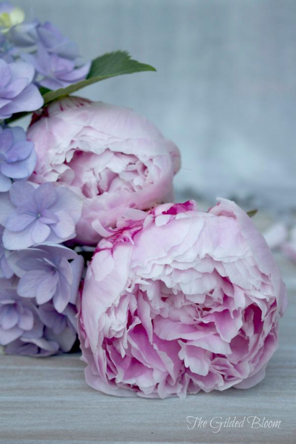 Pink Peonies and Periwinkle Hydrangeas - www.gildedbloom.com