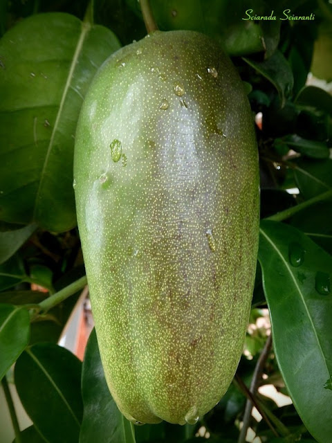 Frutto della Stephanotis con goccie di pioggia