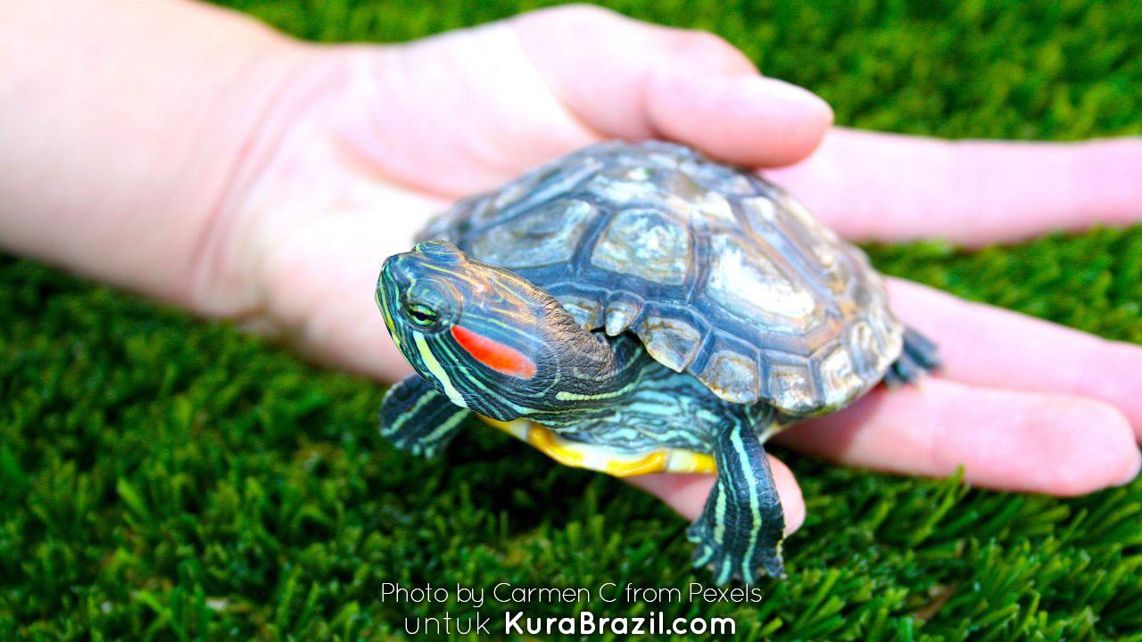 Tips Memilih Kura-kura Brazil untuk Pemula