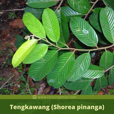Tengkawang (Shorea pinanga)