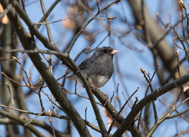 Dark-eyed Junco (Slate-coloured) - Grayling, Michigan, USA