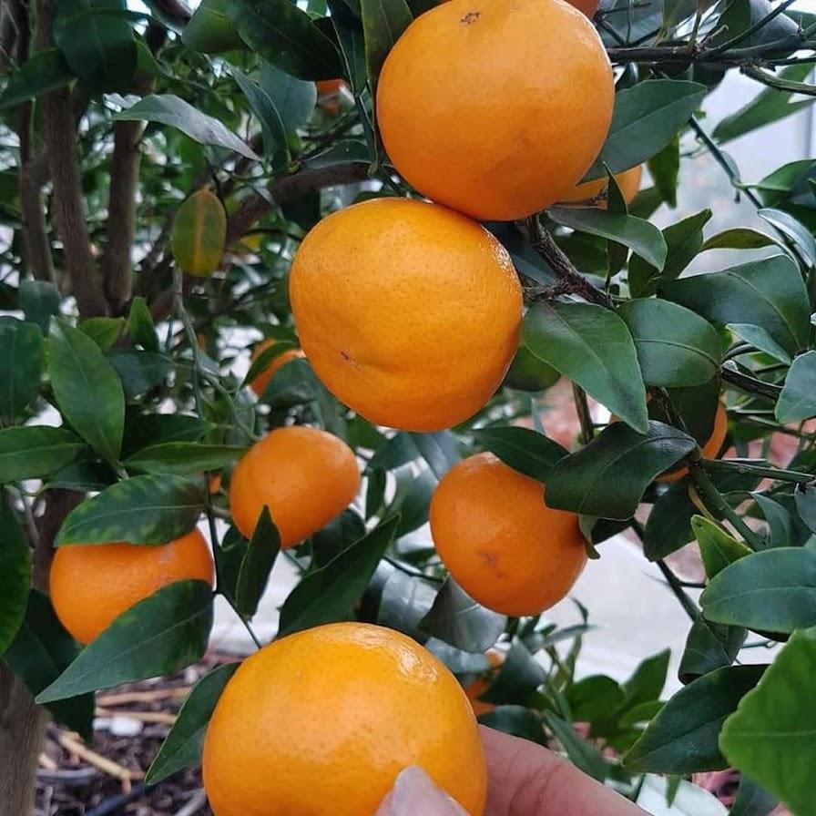 Bibit jeruk sankis super unggul genjah Bau-Bau