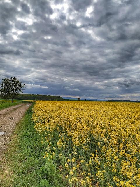 Okolice góry Ślęza, Wrocław, rzepak, wiosna, zdjęcia pola