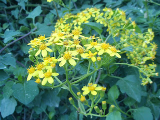 Flores compuestas de color amarillo de Senecio hiedra (Senecio angulatus)