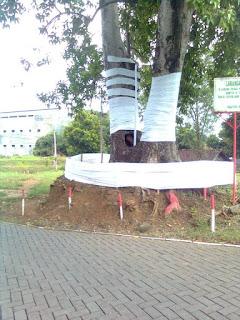 Pohon keramat di kudus krandon