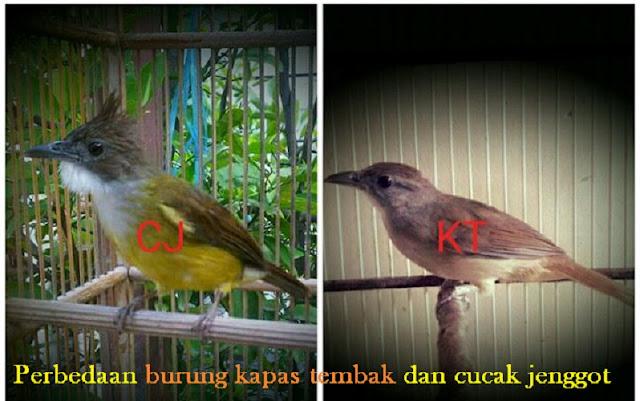 Perbedaan burung kapas tembak dan cucak jenggot