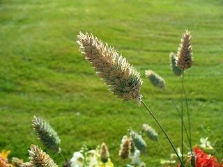 Que es el Alpiste Tabla Nutricional de nutrientes en 100 gramos como el ALPISAN enmpacado de Canada cuanto en dolares en Wikipedia