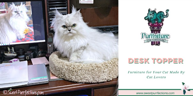Silver shaded Persian cat, Truffle, resting in desk topper beside the computer