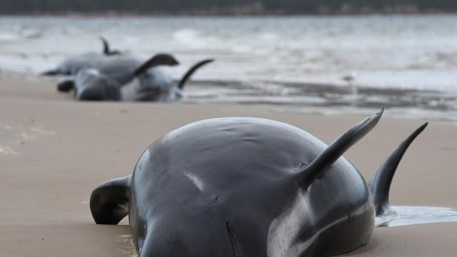 Τραγικές εικόνες με 670 φάλαινες που εξόκειλαν στη Τασμανία (βίντεο)