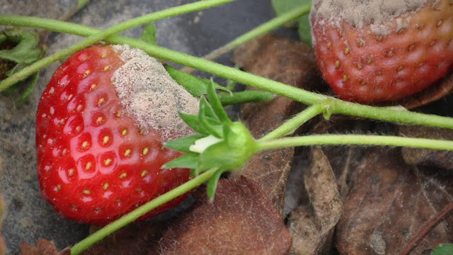 Grey mold strawberry