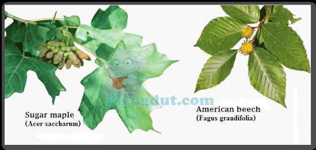 Sugar maple dengan biji bersayap yang membantu persebaran tanaman ini dan gambar Americanbeech dengan biji tanpa sayap.