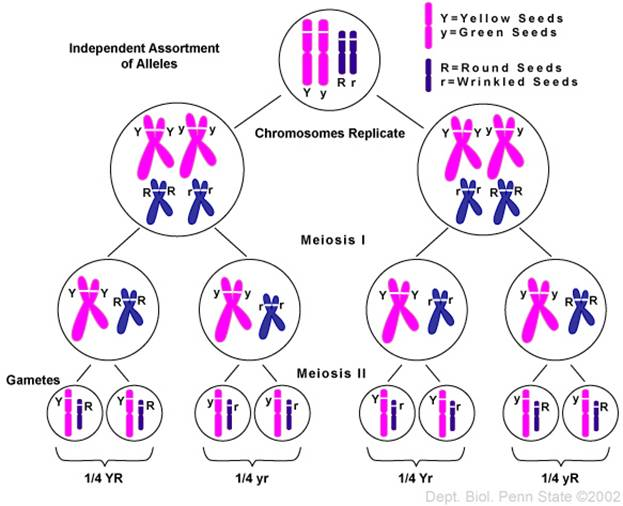Chromosome Theory Biotechghana