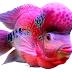Asal Usul Ikan Louhan