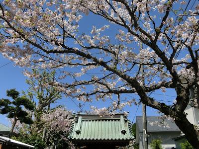 鎌倉:妙隆寺の桜2017/04/14