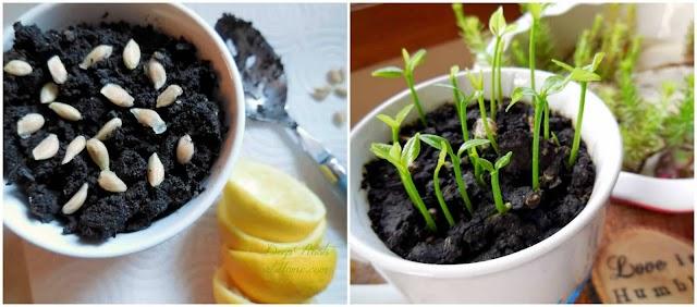 Kendi Limon Ağacınızı Tohumdan Nasıl Çimlendirir ve Yetiştirirsiniz ?