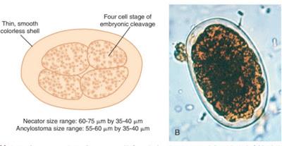 Praktikum Parasitologi Ciri-Ciri Nematoda, Cacing tambang