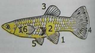 ciri ciri ikan guppy betina