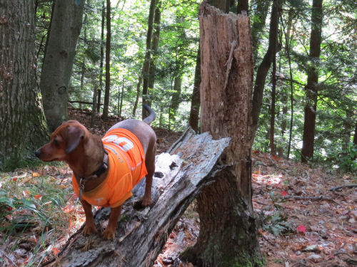 dachshund hiking