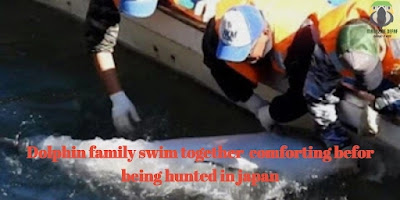 Dolphin family swim together comforting before being hunted in Japan