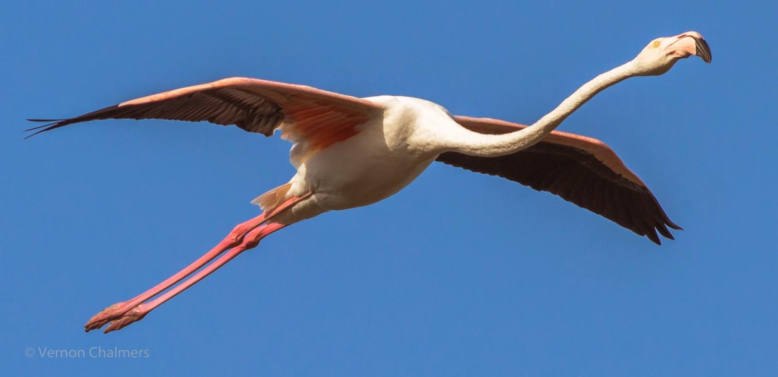 Birds In Flight Woodbridge Island with Canon EF 400mm f5.6L USM Lens