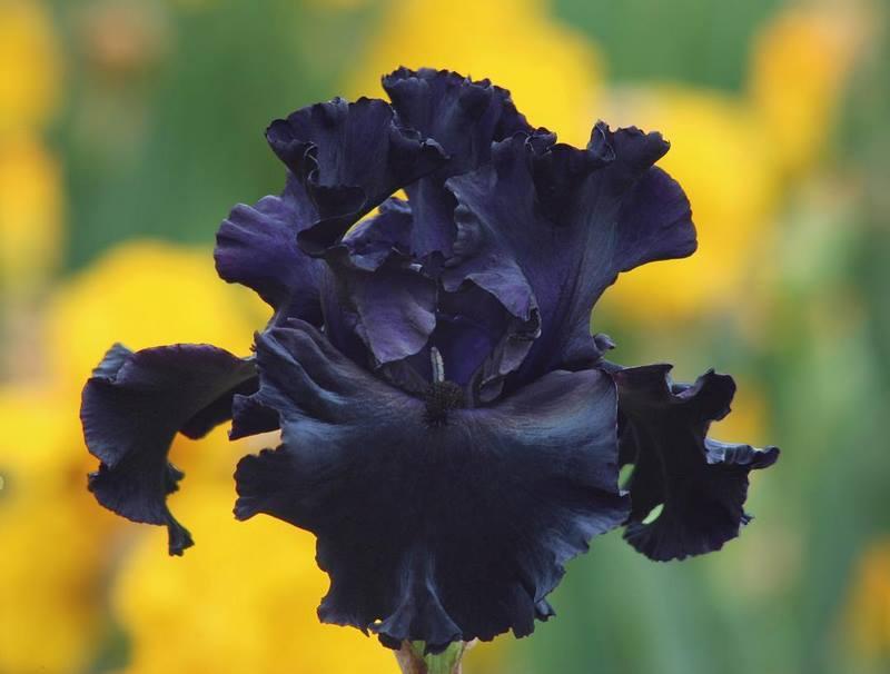 iris (lirio) negro