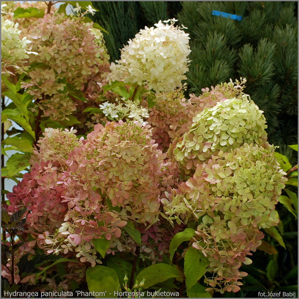 plant gallery encyklopedia ro lin hydrangea paniculata 39 phantom 39 hortensja bukietowa 39 phantom 39. Black Bedroom Furniture Sets. Home Design Ideas