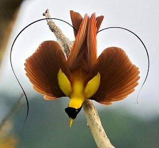 660 Koleksi Gambar Burung Cendrawasih Merah HD
