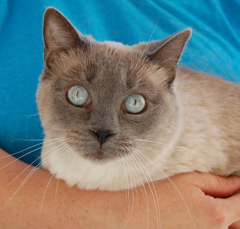 Siamese Cat Rescue Illinois