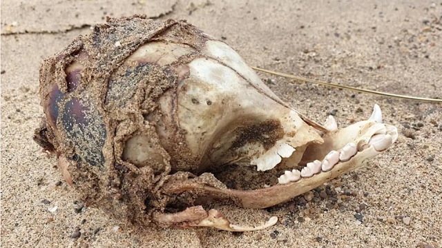 Rare-skull-from-a-mysterious-animal-with-no-eye-sockets-washes-up-on-a-UK-beach.