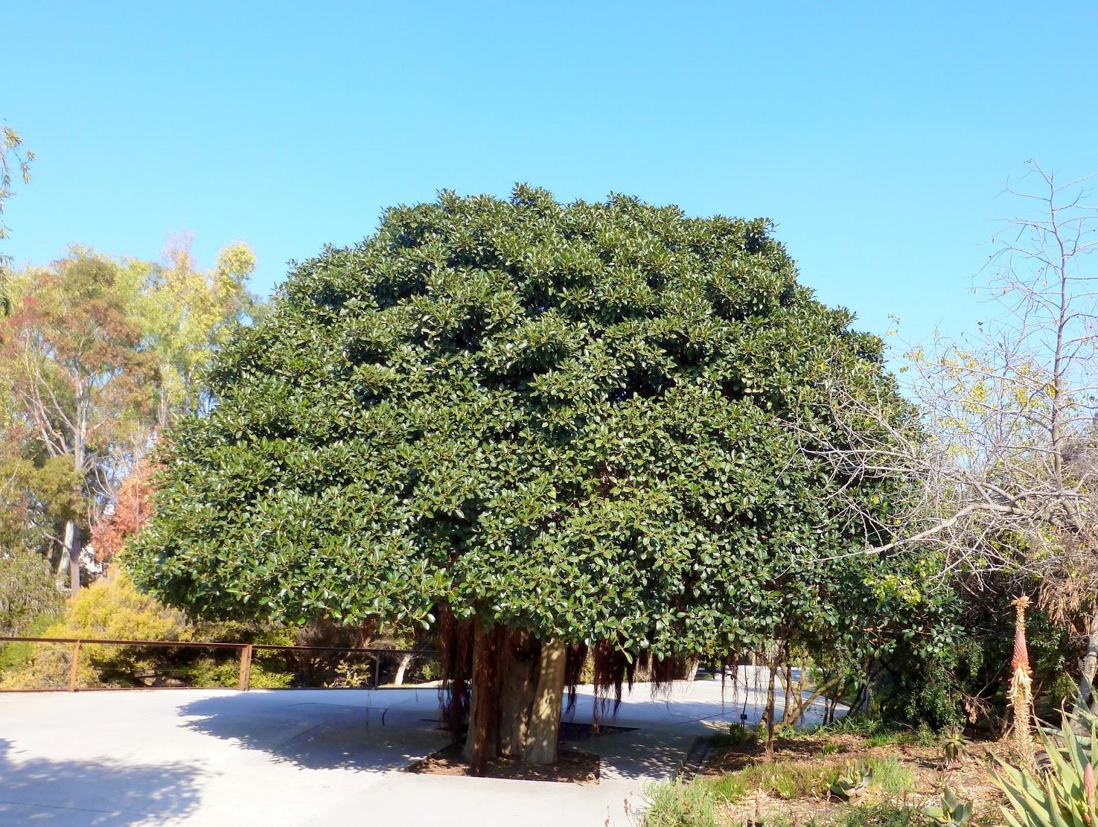 Rboles con alma ficus rubiginosa higuera de port jackson for Arboles del jardin botanico
