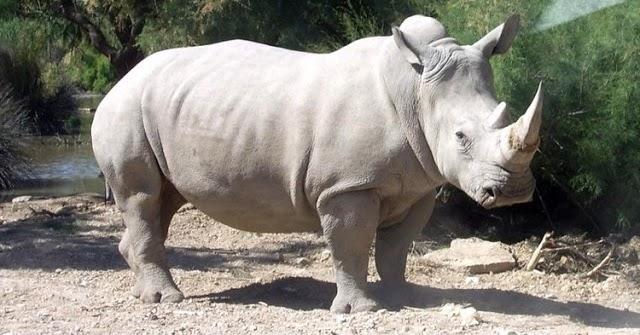 Rinocerontes No Precip 237 Cio Da Extin 231 227 O Saber Atualizado