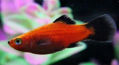 Gambar Ikan Platy Black Tail