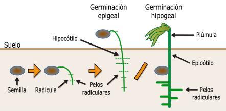 Control del desarrollo vegetal