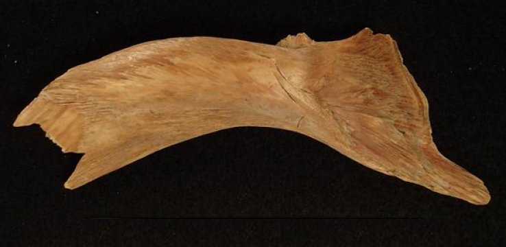 DNA from Viking cod bones suggests 1,000 years of European fish trade