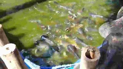 Membuat kolam terpal untuk pelihara ikan patin modal kecil sampai besar dan bisa di jual