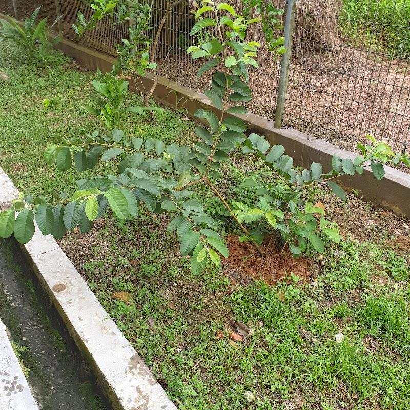 Pokok jambu hasil tut