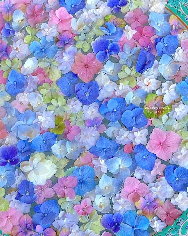 Hortensias azules blancas amarillas y rosas flotan en agua