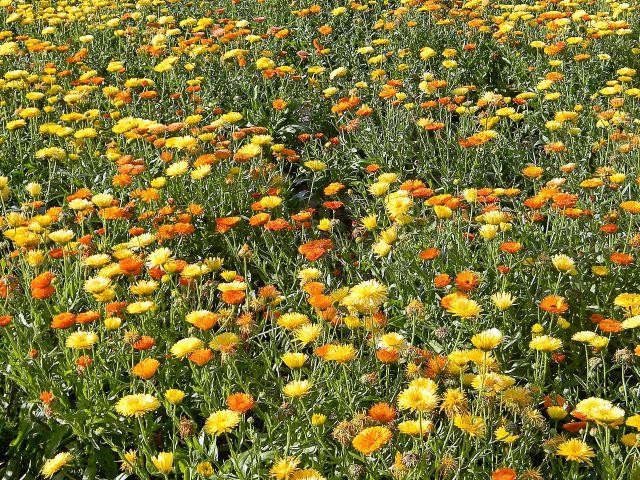 rośliny lecznicze, uprawa roślin leczniczych