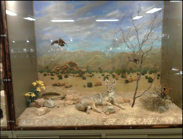 Joshua Tree National Park, diorama,museum,taxidermy,desert animals, coyote, Gambels quail, painted backdrop