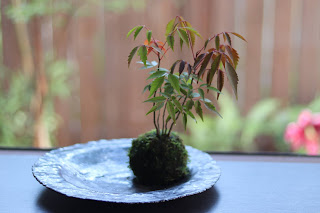 丸い少し大きめの金属柚のお皿にのったハゼノキの苔玉